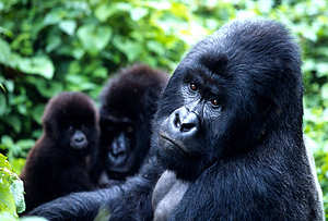 foto van aap