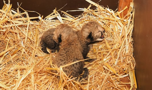 Cheeta tweeling
