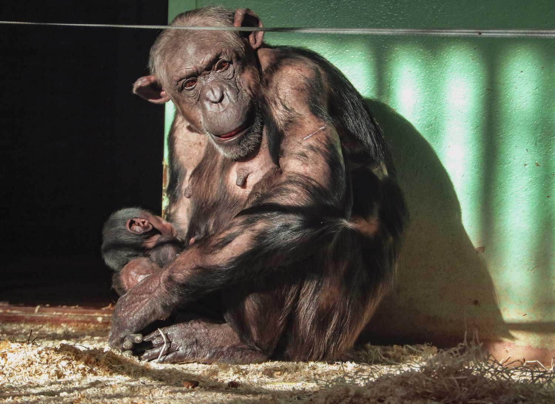 chimpansee-geboren