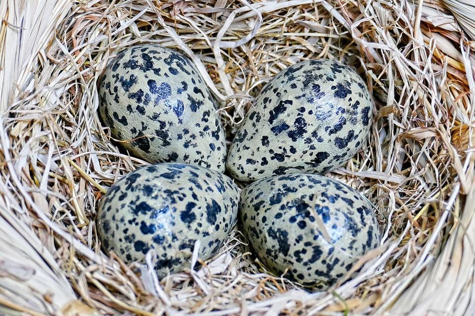 Kievitseieren in nest