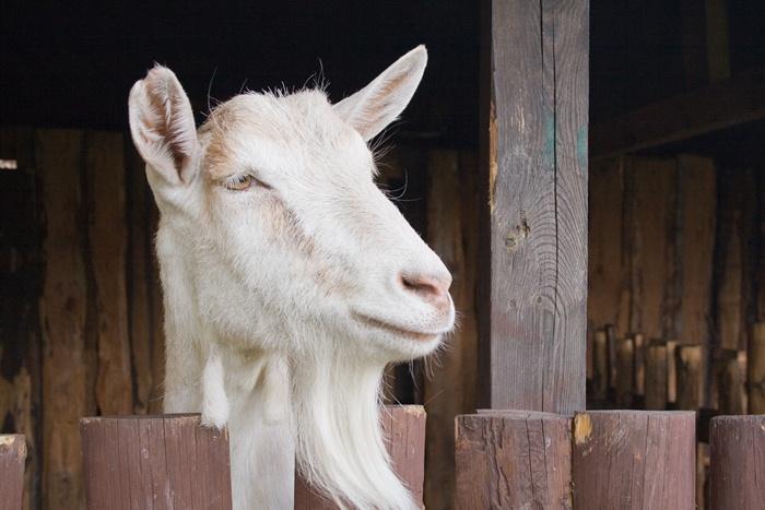 foto van geit