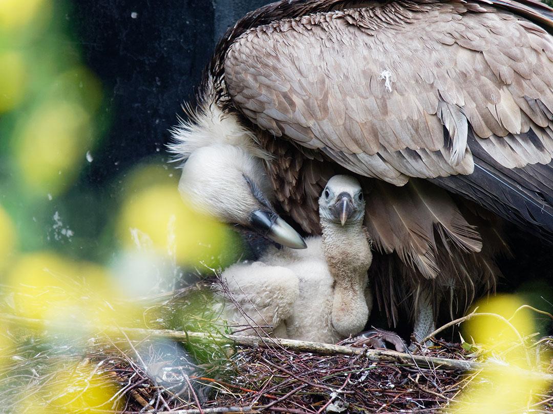 Foto van moeder met vale gier kuiken