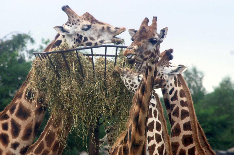 giraf-voedsel