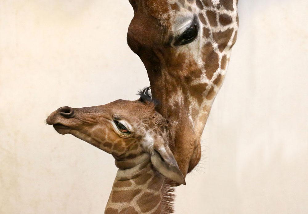 Giraffe geboren in Artis