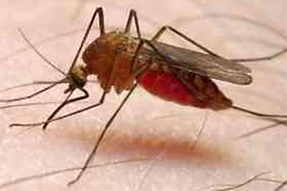 Foto van malaria mug   RadboudUMC