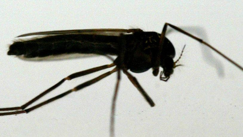 Nieuwe therapie doodt malariamuggen en -parasieten