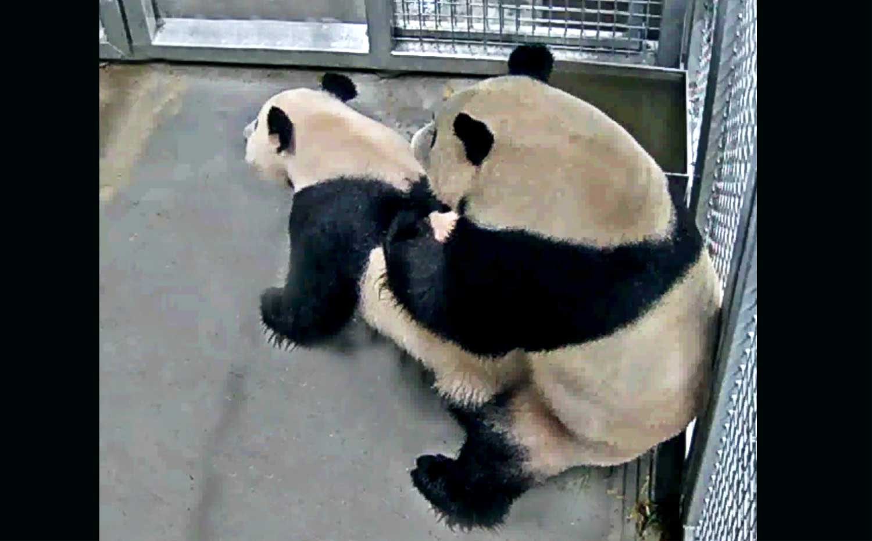 panda-paren