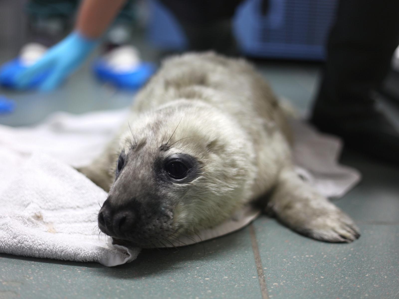 Grijze zeehondenbaby Snelle
