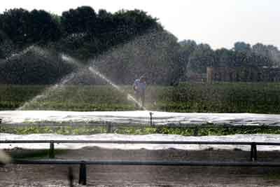 Foto van sproeien gewassen vanwege droogte   Archief EHF