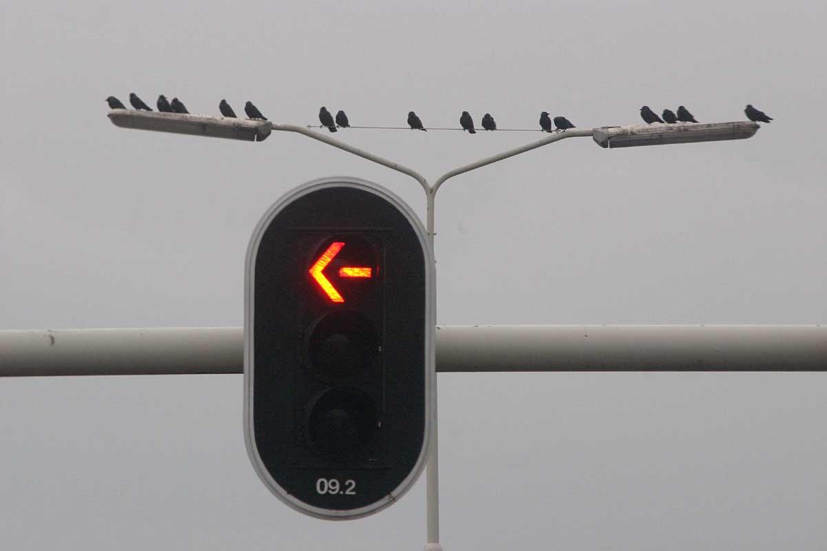verkeerslicht-stoplicht-pijl-vogels