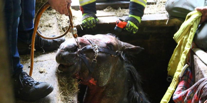 Paard zakt door rooster mestkelder