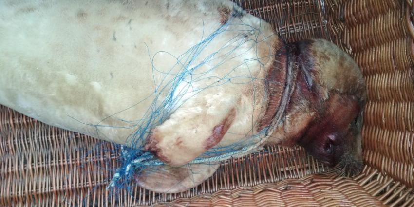 Zeehondencentrum bezorgd om plotselinge toename in visnet verstrikte zeehonden