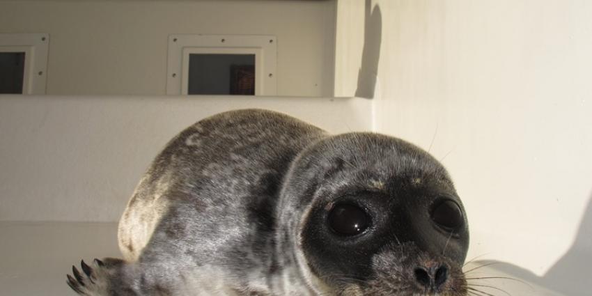 Zeehonden in nood dupe van 1 april grap