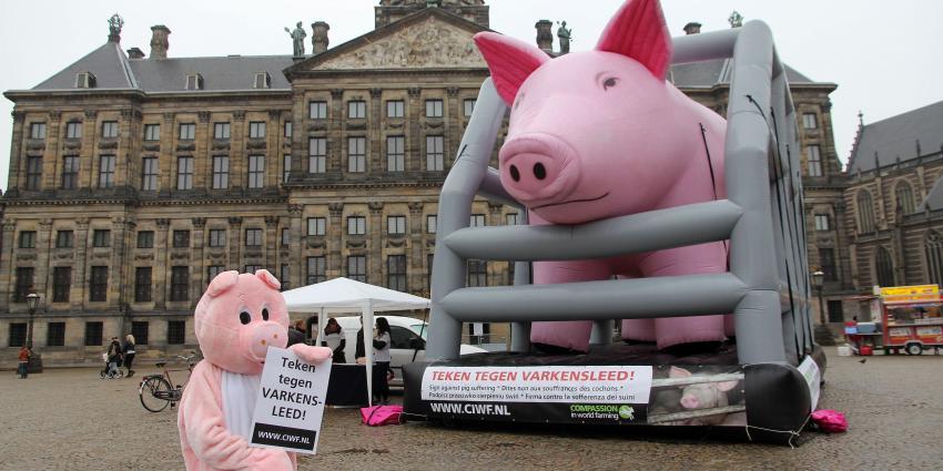 Foto van levens groot varken op de Dam   BON