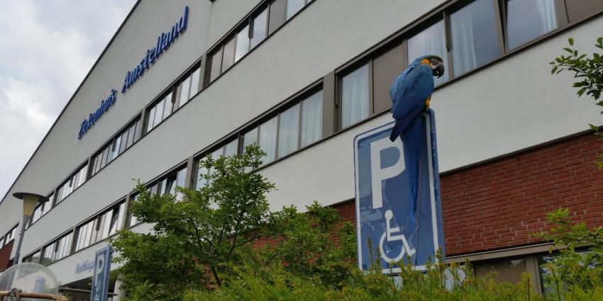 Papagaai wacht netjes op baas bij ziekenhuis