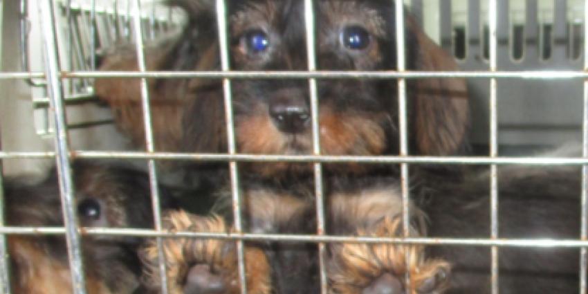 NVWA neemt ongeveer 150 honden in bewaring