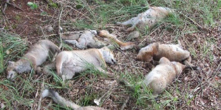 Foto van dode vosjes in Natuurgebied   Politie