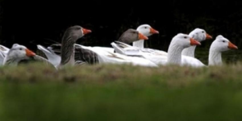 Partij voor de Dieren pleit voor diervriendelijke aanpak ganzenoverlast