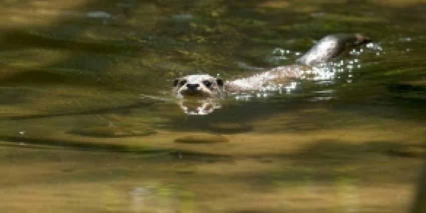 Dode otter gevonden bij Harderbroek