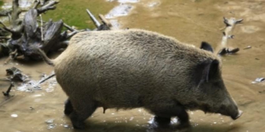 Ruimte voor wilde zwijnen en herten in Drenthe