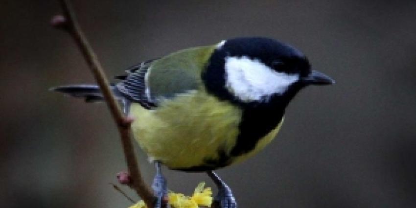 Ossenaar met ongeringde vogels bekeurd