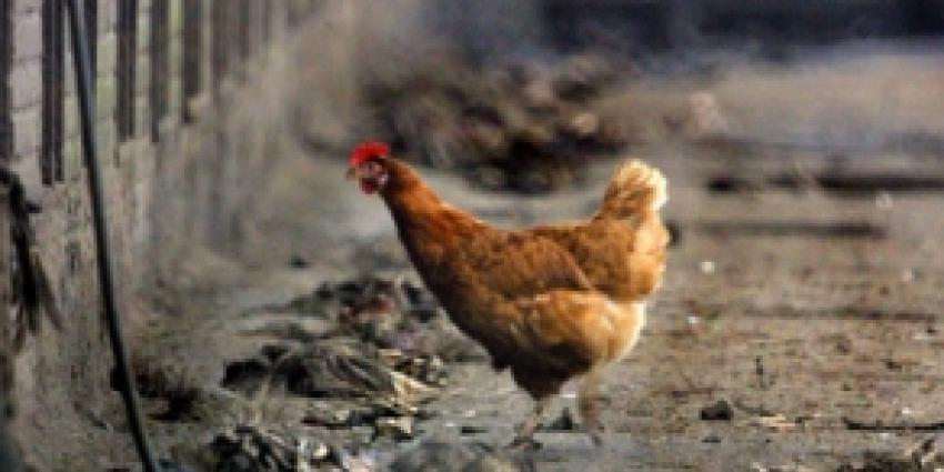 Vogelgriep vastgesteld in Gelderse Bruchem