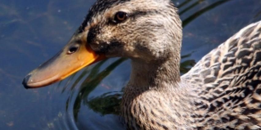Eendjes massaal verdronken in riool Den Haag