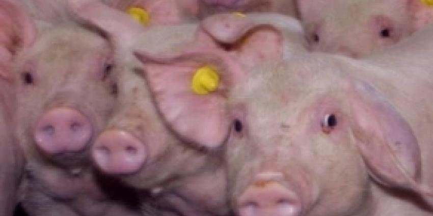 Brand in varkensschuur kost 350 varkens het leven