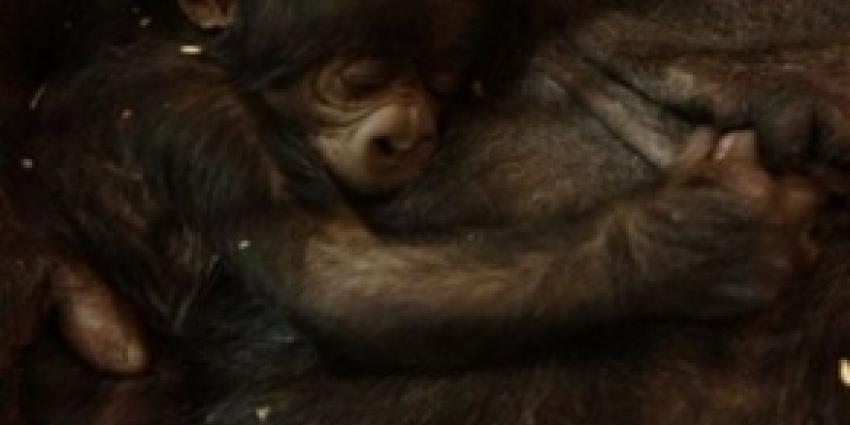 Langverwachte gorilla geboren in GaiaZOO