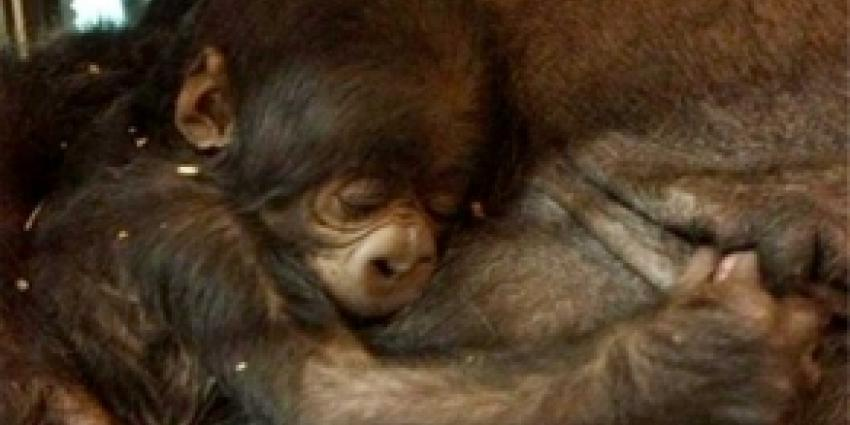 Gorilla-jong blijkt een meisje