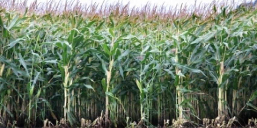 NVWA start traceringsonderzoek naar mais met aflatoxine