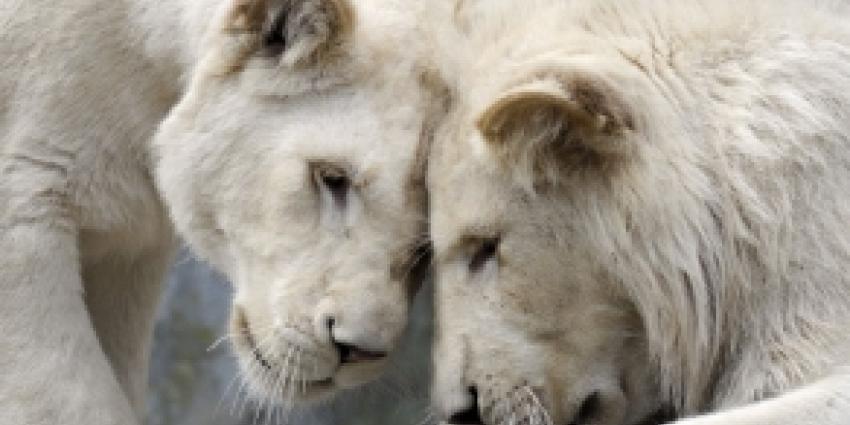 Zeldzame witte leeuwen geboren