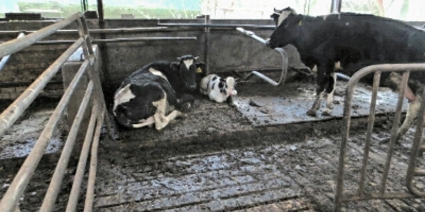 119 verwaarloosde runderen weggehaald bij veehouder