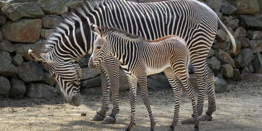 Pasgebprem zebraveulen met moeder Zohra | Artis Ronald van Weeren
