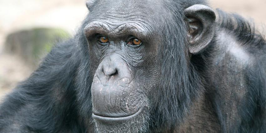 Chimpansee Bini uit DierenPark Amersfoort is weggepest