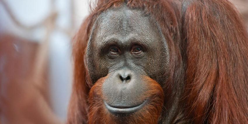 foto van Orang-oetan wangplaatman in Apenheul | Apenheul