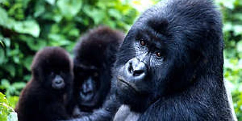 Oudste gorilla Apenheul Lobo (42) overleden