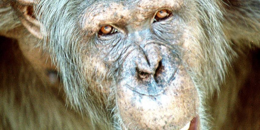 'Apen zijn fysiek in staat om te praten zoals mensen'