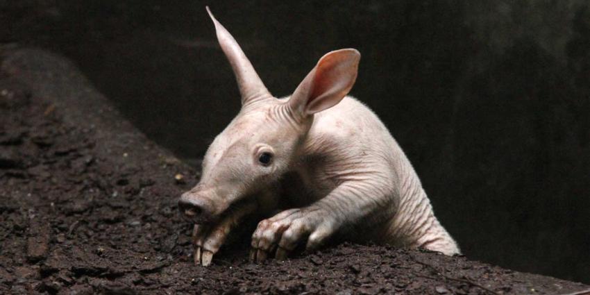 Burgers' Zoo jongste aardvarken wordt 1 jaar