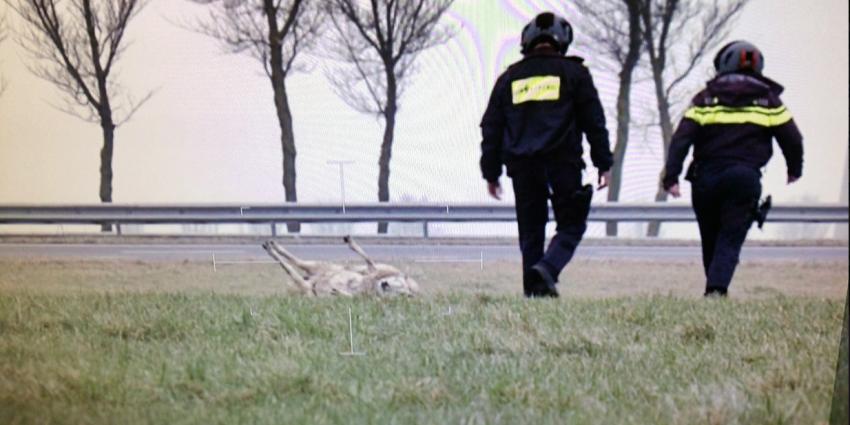 Bemanning politiehelikopter zet schaap weer op vier poten
