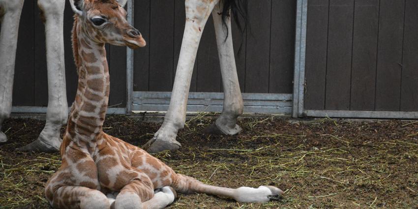 Geboortegolf girafjes in Safaripark Beekse Bergen