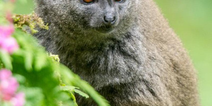 bamboemaki, geboren, apenheul