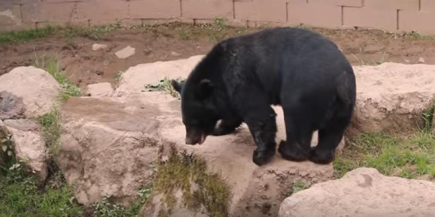 Chinese vrouw ontdekt dat ze geen hond maar een beer in huis heeft