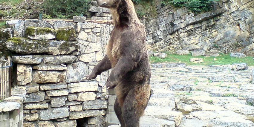 Nederlandse familie in Zweden aangevallen door bruine beer