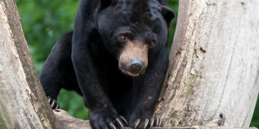 Duitse specialisten onderzoeken vruchtbaarheid Maleise beren in Burgers' Zoo