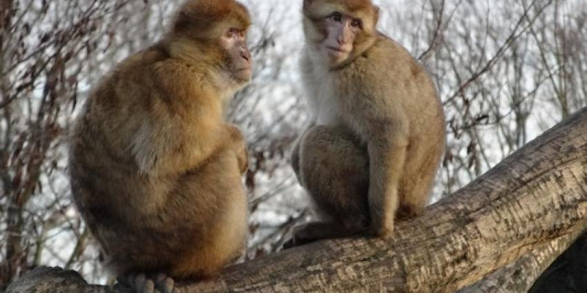 Dierenrijk: probleempje met plassende aap Pico