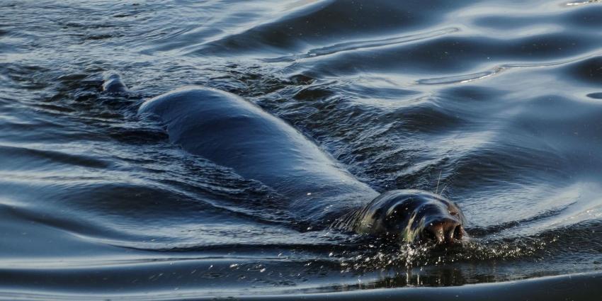 Zeehond gooit roet in het eten tijdens Marinedagen