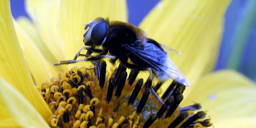Driekwart Nederlanders is voor verbod op bijendodende pesticiden