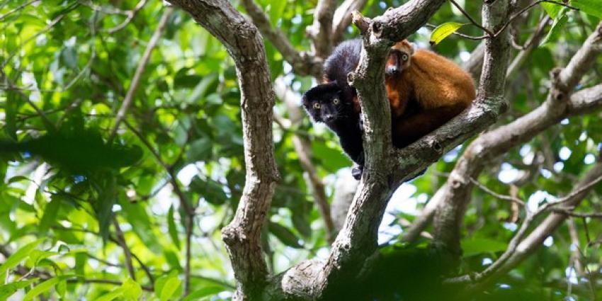 Apenheul geeft grote donatie voor blauwoogmaki op Madagaskar