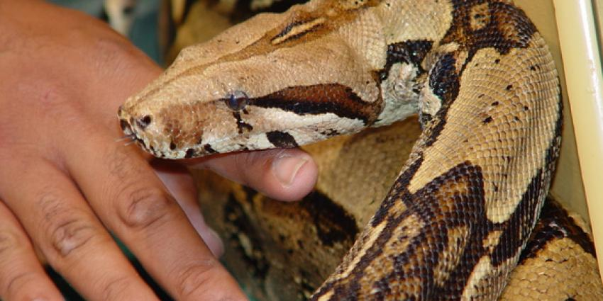 Boa Constrictor uit woning in Duiven ontsnapt